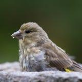 Σπόροι ηλίανθων σίτισης πουλιών από τον τροφοδότη Greenfinch Στοκ Εικόνες