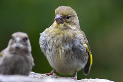 Σπόροι ηλίανθων σίτισης πουλιών από τον τροφοδότη Greenfinch Στοκ Φωτογραφία