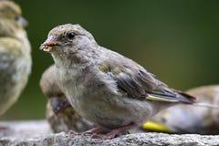 Σπόροι ηλίανθων σίτισης πουλιών από τον τροφοδότη Greenfinch Στοκ φωτογραφίες με δικαίωμα ελεύθερης χρήσης