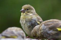 Σπόροι ηλίανθων σίτισης πουλιών από τον τροφοδότη Greenfinch Στοκ φωτογραφία με δικαίωμα ελεύθερης χρήσης