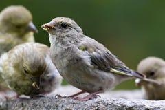 Σπόροι ηλίανθων σίτισης πουλιών από τον τροφοδότη Greenfinch Στοκ εικόνα με δικαίωμα ελεύθερης χρήσης