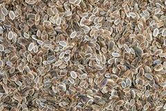 σπόροι μαράθου anethum graveolens Στοκ φωτογραφία με δικαίωμα ελεύθερης χρήσης