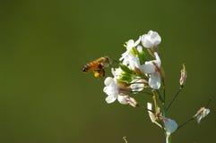 σπόροι μελισσών στοκ εικόνα