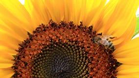 Σπόροι μελισσών και ηλίανθων απόθεμα βίντεο