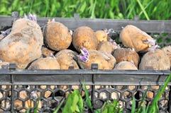 σπόροι πατατών κιβωτίων Στοκ φωτογραφία με δικαίωμα ελεύθερης χρήσης
