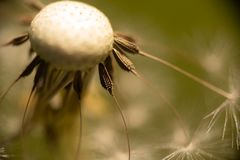 Σπόροι πικραλίδων έτοιμοι να φυσήξουν μακριά στοκ φωτογραφίες