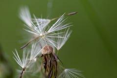 Σπόροι πικραλίδων με λίγες πτώσεις δροσιάς στοκ εικόνες