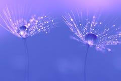 Σπόροι πικραλίδων με τις πτώσεις νερού και τις όμορφες σκιές Στοκ φωτογραφία με δικαίωμα ελεύθερης χρήσης