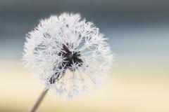 Σπόροι πικραλίδων με τις σταγόνες βροχής Στοκ Φωτογραφίες