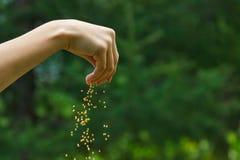 Σπόροι που πέφτουν από ένα χέρι στο πράσινο υπόβαθρο Στοκ Φωτογραφίες
