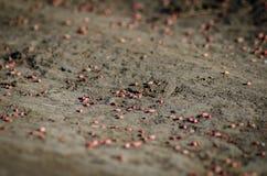 Σπόροι σίτου που διασκορπίζονται στον τομέα στοκ εικόνες