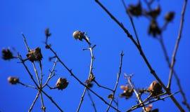 Σπόροι στον κλάδο πλατανιών ενάντια στο μπλε ουρανό Στοκ Εικόνες