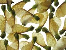 σπόροι σφενδάμνου Στοκ φωτογραφία με δικαίωμα ελεύθερης χρήσης