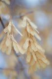 Σπόροι σφενδάμνου Στοκ εικόνες με δικαίωμα ελεύθερης χρήσης