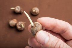 Σπόροι τουλιπών διαθέσιμοι Καφετί υπόβαθρο στοκ φωτογραφία