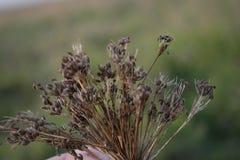 Σπόροι του κυμινοειδούς κάρου Στοκ Εικόνες