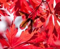 Σπόροι του κόκκινου σφενδάμνου στο φως του ήλιου Στοκ Φωτογραφίες