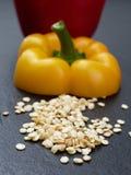 Σπόροι του πιπεριού ή του καψικού κουδουνιών με ένα κίτρινο κομμάτι περικοπών με το μίσχο και κόκκινο πέρα από το σκοτεινό υπόβαθ Στοκ Εικόνα