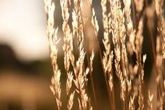 Σπόροι των ζιζανίων στο φως του ήλιου Στοκ Φωτογραφίες