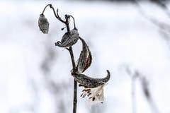 Σπόροι χλόης μεταξιού Στοκ φωτογραφία με δικαίωμα ελεύθερης χρήσης