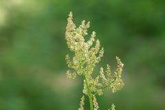 Σπόροι χλόης στη φύση Μακροεντολή Στοκ Εικόνες