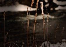 Σπόροι χλόης στο πρώτο χιόνι Στοκ Εικόνα