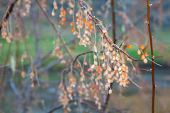 Σπόροι angustifolia Elaeagnus Στοκ εικόνες με δικαίωμα ελεύθερης χρήσης