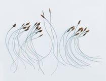 Σπόροι Clematis στοκ εικόνες με δικαίωμα ελεύθερης χρήσης