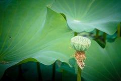 Σπόροι Lotus Στοκ εικόνα με δικαίωμα ελεύθερης χρήσης