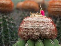 Σπόροι Melocactus Στοκ Εικόνες