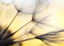 Σπόροι Salsify λιβαδιών Στοκ εικόνες με δικαίωμα ελεύθερης χρήσης