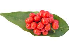 Σπόροι Triandra Tiliacora στοκ φωτογραφίες με δικαίωμα ελεύθερης χρήσης
