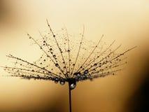 σπόρος πικραλίδων στοκ φωτογραφία με δικαίωμα ελεύθερης χρήσης