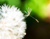 Σπόρος πικραλίδων στον αέρα Στοκ Εικόνα