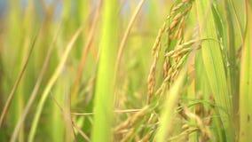 Σπόρος ρυζιού που είναι ήδη ώριμος στον τομέα απόθεμα βίντεο