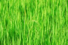 Σπόρος ρυζιού στον τομέα Στοκ φωτογραφία με δικαίωμα ελεύθερης χρήσης