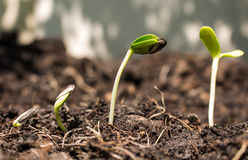 Σπόρος στο χώμα - νέα έννοια ζωής Στοκ Φωτογραφία