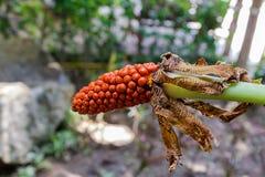 Σπόρος του aromatica Homalomena, δηλητηριώδες δέντρο. Στοκ φωτογραφία με δικαίωμα ελεύθερης χρήσης