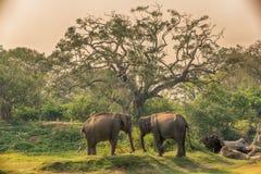 Σρι Λάνκα: άγριοι ελέφαντες στη ζούγκλα, εθνικό πάρκο Yala Στοκ Εικόνες