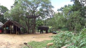 Σρι Λάνκα ένας ελέφαντας σε ένα λουρί απόθεμα βίντεο