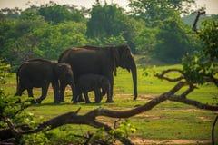 Σρι Λάνκα: οικογένεια των άγριων ελεφάντων στο εθνικό πάρκο Yala Στοκ εικόνες με δικαίωμα ελεύθερης χρήσης
