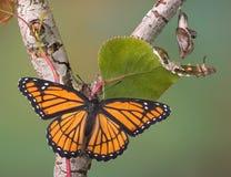 στάδια πεταλούδων Στοκ Εικόνες