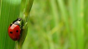 Στάδια του κύκλου ζωής ladybug | Ενήλικο Ladybug στοκ εικόνα