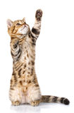 Στάσεις γατακιών σε δύο οπίσθια πόδια Στοκ εικόνες με δικαίωμα ελεύθερης χρήσης