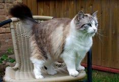 Στάσεις γατών σε μια καρέκλα στοκ εικόνες