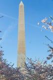 Στάσεις μνημείων της Ουάσιγκτον πίσω από τα άνθη κερασιών Στοκ Εικόνα