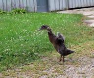 Στάσεις νεοσσών Muscovy δεδομένου ότι χτυπά τα φτερά στοκ εικόνες