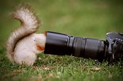 Στάσεις σκιούρων στο έδαφος και τις συντηρήσεις ο φακός καμερών στοκ φωτογραφία με δικαίωμα ελεύθερης χρήσης
