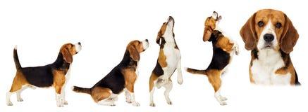 Στάσεις σκυλιών λαγωνικών λοξά στην πλήρη αύξηση Στοκ φωτογραφία με δικαίωμα ελεύθερης χρήσης