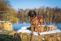 Στάσεις σκυλιών λαγωνικών σε έναν μίσχο δέντρων Στοκ Φωτογραφίες